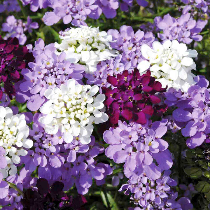 Roseniberis - Candytuft - Candy Cane - Suttons Seeds
