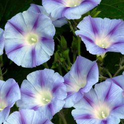Blomman för dagen - Morning Glory - Ipomoea - Dacapo Light Blue
