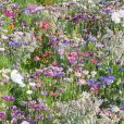 Blomsterblandning – FloralFusions  – Madame Butterfly – Suttons Seeds