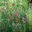 Blomsterblandning – FloralFusions – La Rondine – Suttons Seeds