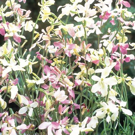 Grekisk Lövkoja `Night Scented Stock - Evening Fragrance`-Suttons Seeds