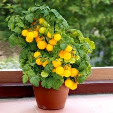 Tomat ´F1 Sweet 'n' Neat Yellow´- Suttons Seeds