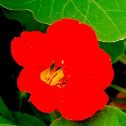 "Bladkrasse (Nasturtium Leaves Seeds) """" - Sutton Seeds"