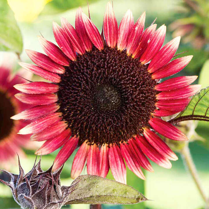 Solros ´Sunflower Seeds - Ms Mars`-Suttons Seeds