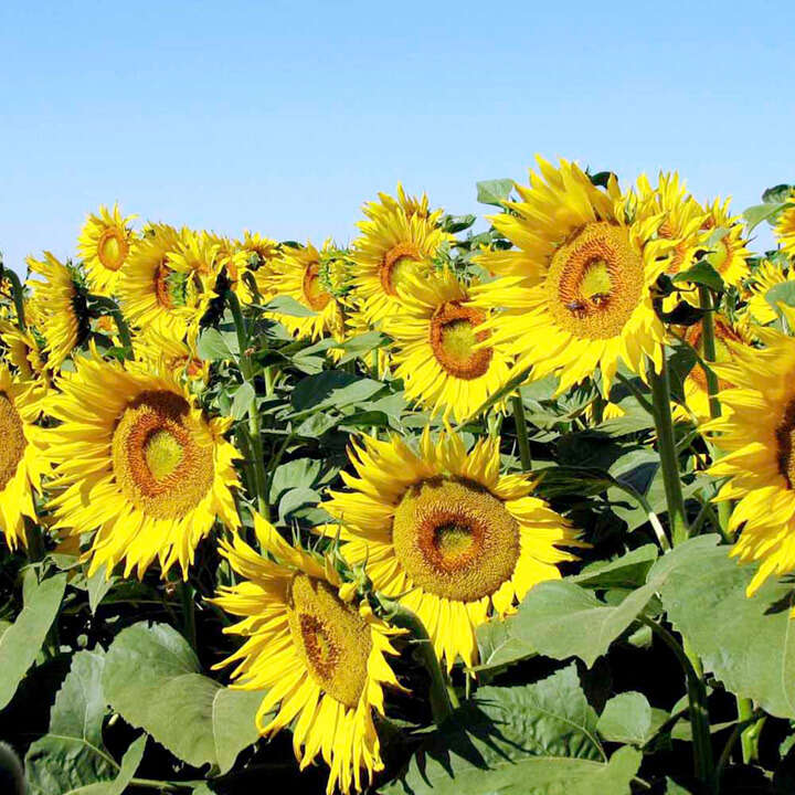 Solros `Sunflower Seeds - Tasty Treat`-Suttons Seeds
