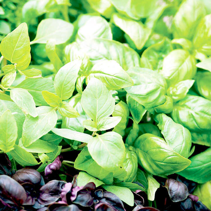 "Basilika (Basil Seeds ) "" Mix"" - Sutton Seeds"