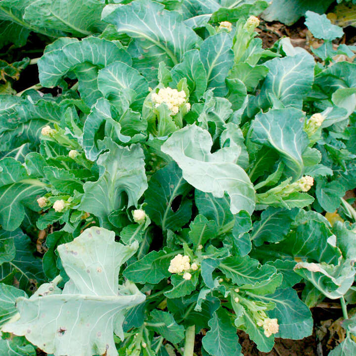 "Broccoli (Broccoli Seeds ) "" White Star"" - Sutton Seeds"
