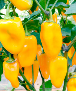 "Paprika (Pepper Sweet Seeds ) "" Midas"" - Sutton Seeds"