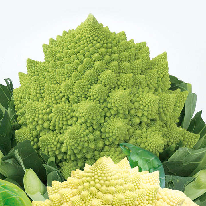 "Blomkål (Cauliflower Seeds ) "" Romanesco White and Green"" - Sutton Seeds"