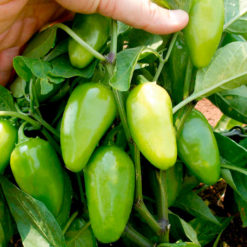 "Chili (Pepper Chilli Seeds ) "" Raam"" - Sutton Seeds"