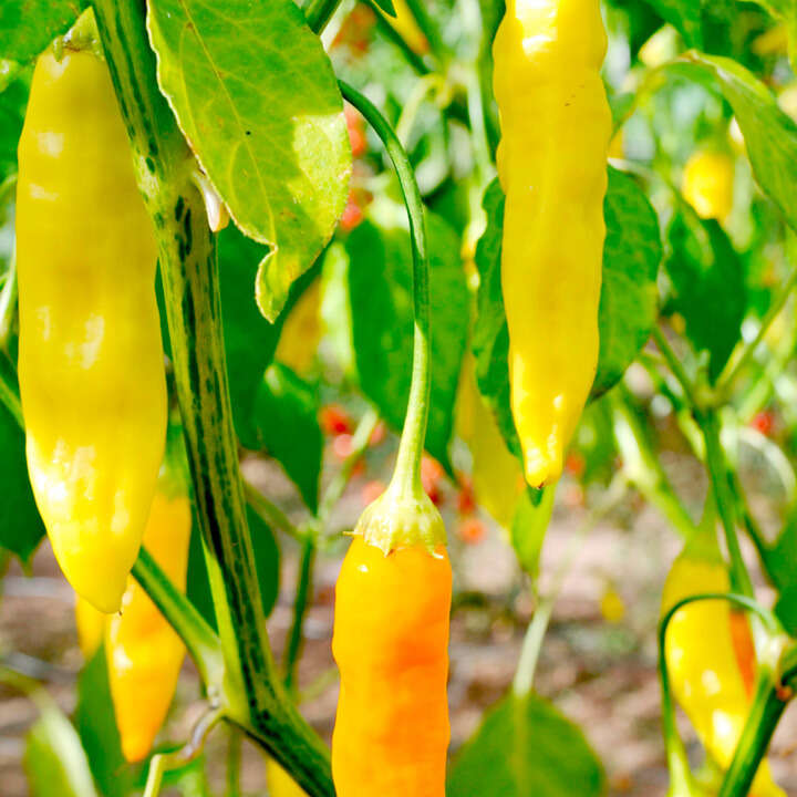 "Chili (Pepper Chilli Seeds ) "" Aji Habanero"" - Sutton Seeds"