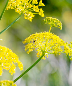 "Fänkål Vild (Wild Fennel Pollen Seeds) """" - Sutton Seeds"
