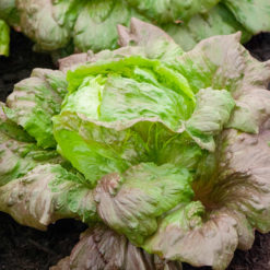 "Salat (Lettuce Seeds ) "" Red Iceberg"" - Sutton Seeds"