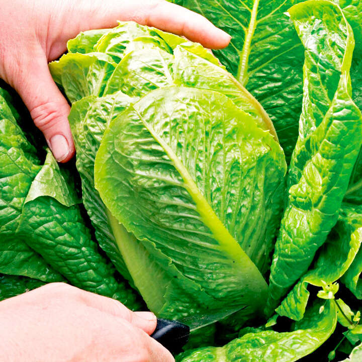 "Salat (Lettuce Seeds ) "" F1 Cosberg Sweet Success"" - Sutton Seeds"
