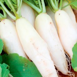 "Rädisa (Radish Seeds ) "" Twin Pack Black Spanish Long/Long White Icicle"" - Sutton Seeds"