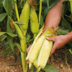 "Majs (Sweet Corn Seeds ) "" Earlybird"" - Sutton Seeds"