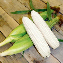 "Majs (Sweet Corn ) "" Mirai White"" - Sutton Seeds"