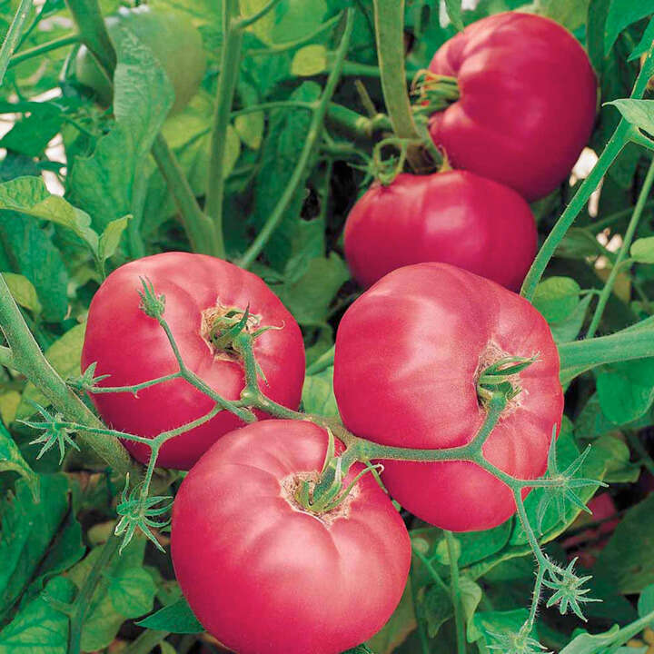 "Tomat (Tomato Seeds ) "" F1 Brandy Boy"" - Sutton Seeds"