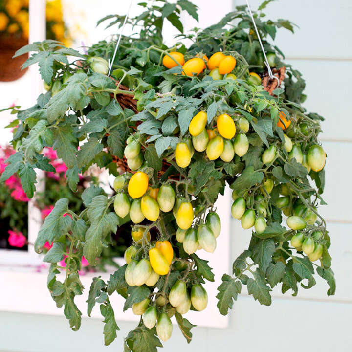 """Tomat (Tomato Seeds ) """" F1 Peardrops"""" - Sutton Seeds"""