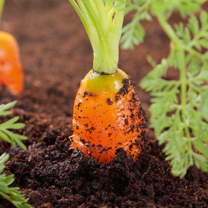 Carrot Successional Tape-9136