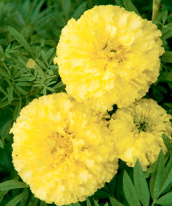 Tagetes ´Marigold African´ - F1 Key Lime Suttons Seeds-0