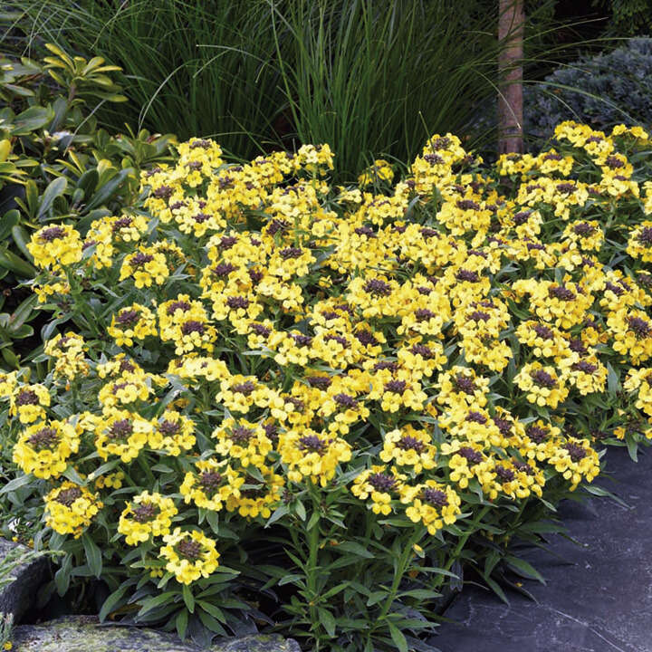 Gyllenlack ´Wallflower Canary´-Suttons Seeds