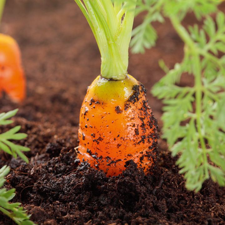 Morot (Såband ) ´Seed Tape - Carrots´-Suttons Seeds
