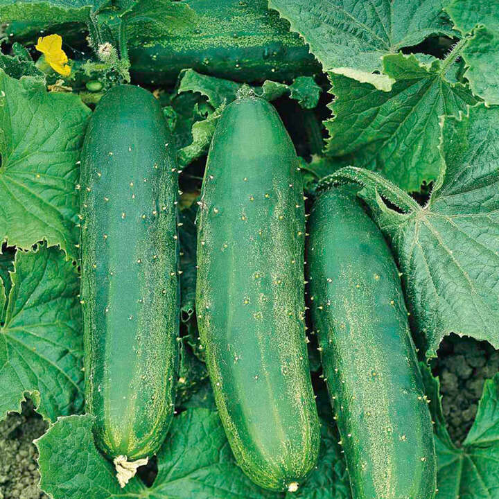 Gurka ´Cucumber F1 Bush Champion´ - Suttons Seeds