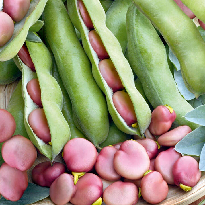 Bean Broad Bean Karmazyn-9149