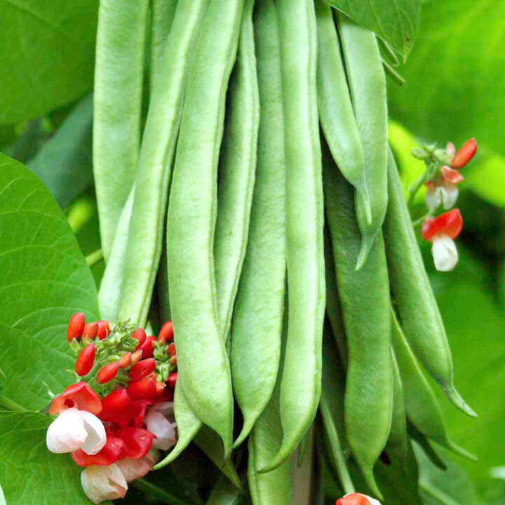 Böna Bean ´Runner` Tenderstar - Suttons Seeds