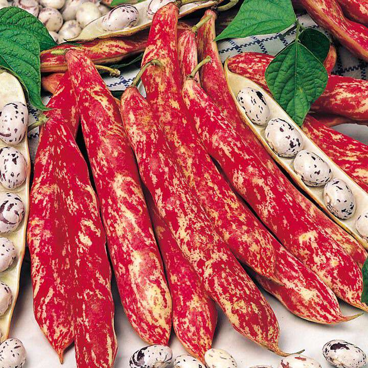 Böna Bean ´Dwarf French Borlotto Firetongue`- Suttons Seeds