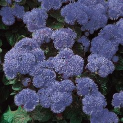 Agerater- 'Blue Mink' - Suttons Seeds-0