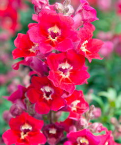 Antirrhinum Antiquity Sunset Mix-0