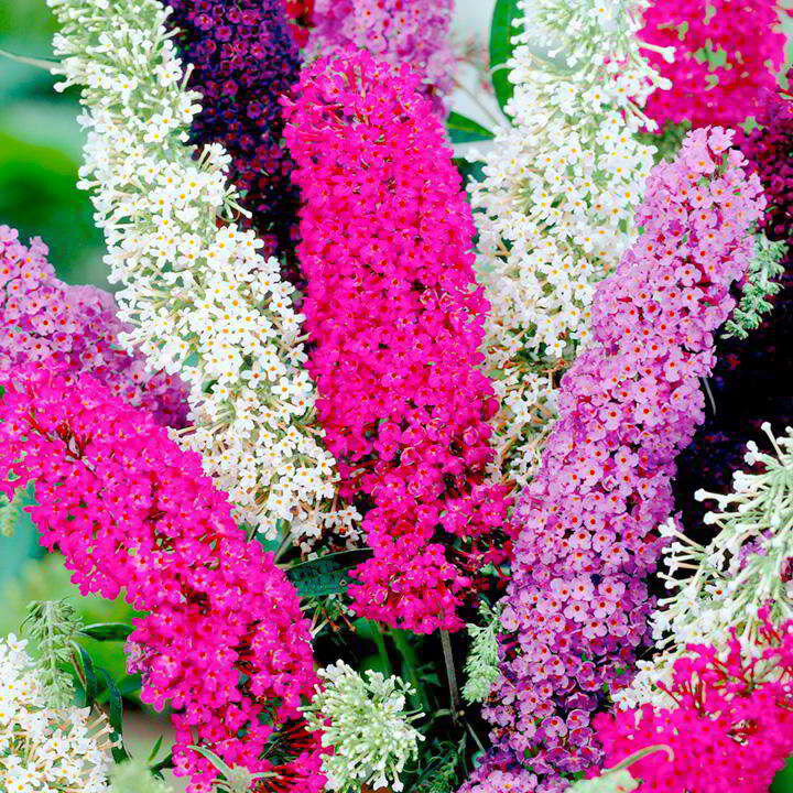 Buddleja - 'Butterfly Magnet Mix' - Suttons Seeds-0