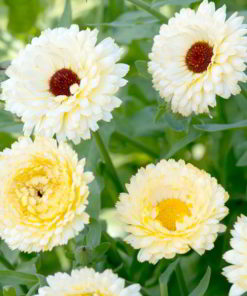 Ringblomma - 'Snow Princess' - Suttons Seeds-0