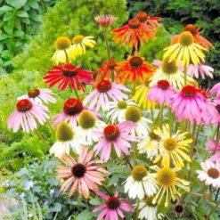 Echinacea Frön - Paradiso Mix - Suttons Seeds-0