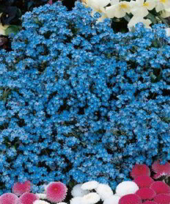 Forget-Me-Not Seeds - Spring Symphony Blue - Suttons Seeds-0