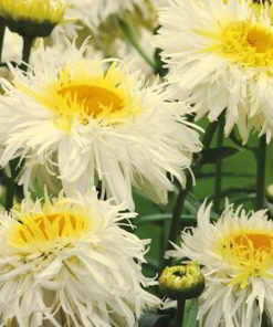 Leucanthemum Seeds - Crazy Daisy - Suttons Seeds-0