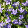 Love-in-a-Mist Frön - Blue Stars - Suttons Seeds-0