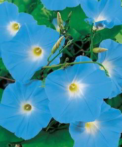 Blomman för dagen 'Morning Glory Seeds - Heavenly Blue' - Suttons Seeds-0