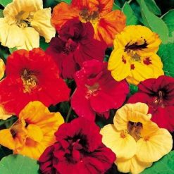 Nasturtium Frön - Jewel Mix - Suttons Seeds-0