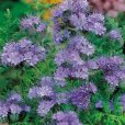 Lavendel 'Phacelia Lacy' - Suttons Seeds-0