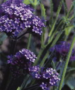 Jätteverbena Seeds - Purple Elegance - Suttons Seeds-0
