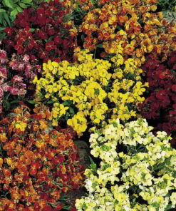 Wallflower frön - persisk matta Mix - Suttons Seeds-0