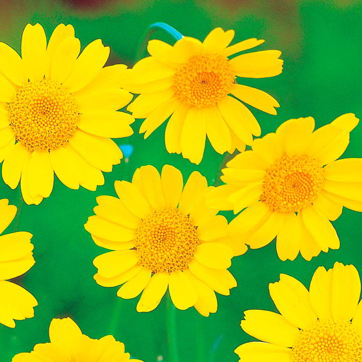 Wildlife Garden Seeds - Corn Marigold – Suttons Seeds-0