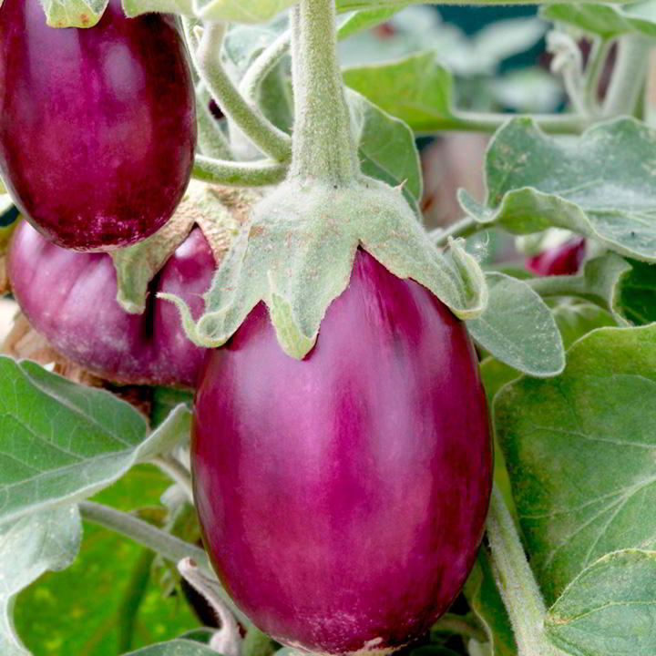 Aubergine Seed - Patio Mix - Suttons Seeds-8528