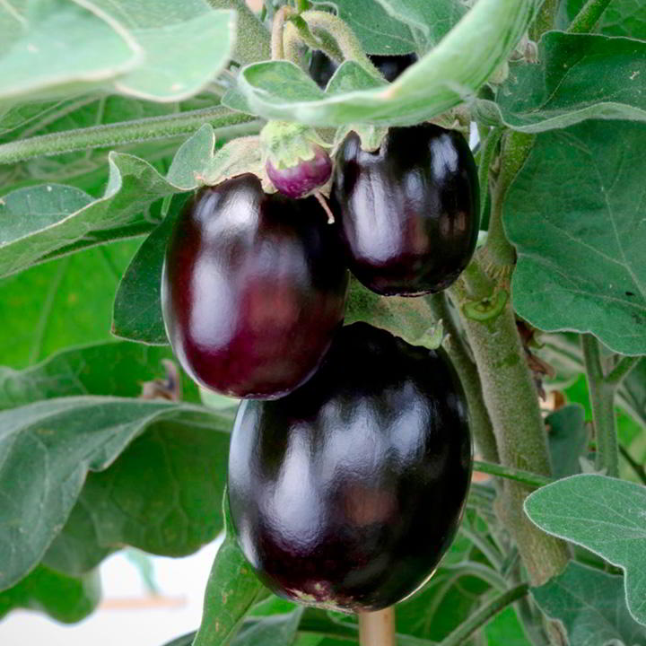 Aubergine Seed - Patio Mix - Suttons Seeds-8427