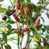 Chilli 'Pepper Chilli Seeds - Barak' - Suttons Seeds-0