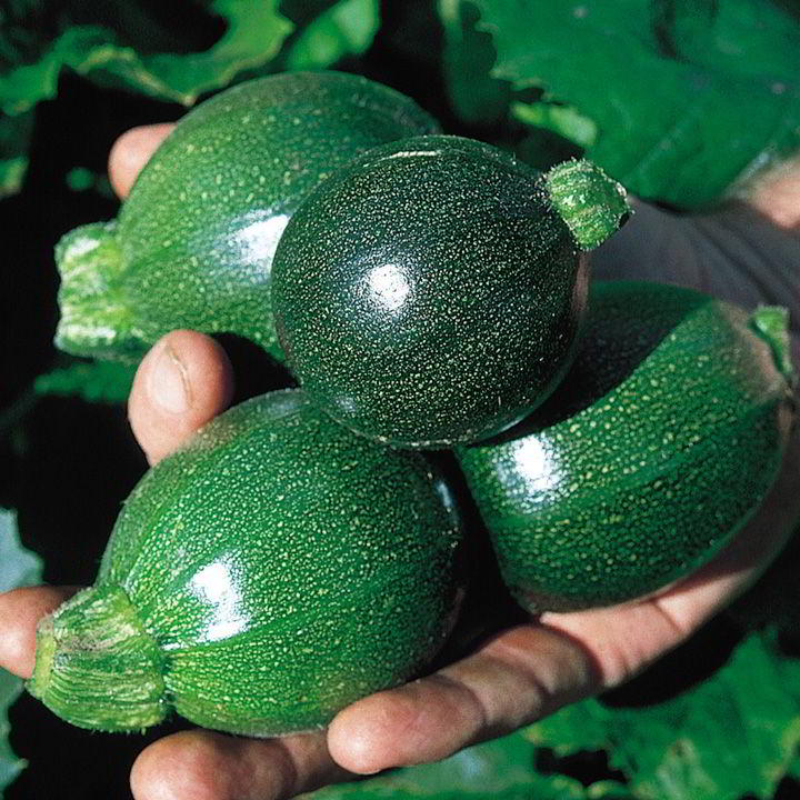 Courgette Frön - F1 Ball Mix - Suttons Seeds-8539