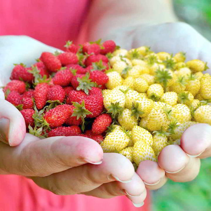 Strawberry Seeds - Red & White Wild Mix - Suttons Seeds-0